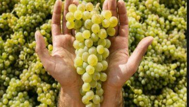 Photo of ღვინის მწარმოებელ კომპანიებს, შესყიდულ 1 კგ რქაწითელისა და კახური მწვანისთვის – 0,35 ლარს სახელმწიფო გადაუხდის